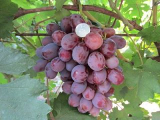 Виноград Граф Монте-Кристо