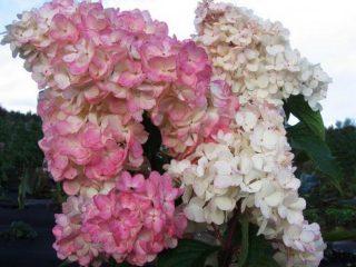 Гортензия Pink Lady: описание + фото