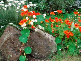 Посадка настурции семенами в грунт