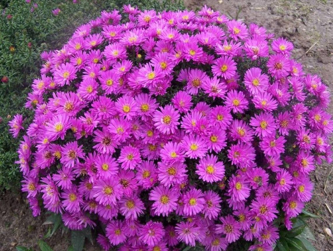 Вересковая астра почвопокровная посадка и уход — О цветах