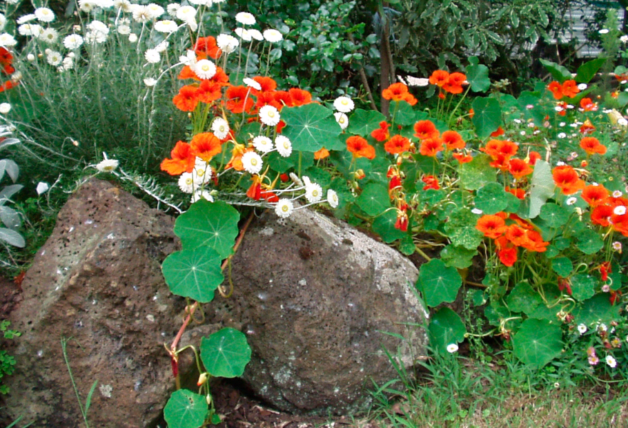 Настурция выращивание из семян в домашних 34