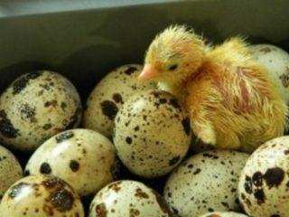 Условия инкубации перепелиных яиц: график, период