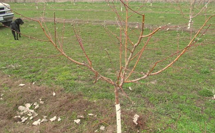 Подрезка старых и молодых яблонь весной