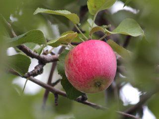 Яблоня Башкирская красавица
