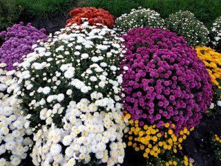 Хризантема Мультифлора шаровидная: сорта, фото, выращивание