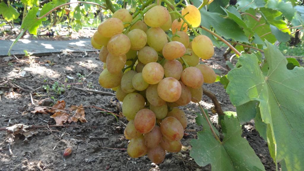 Сорт винограда дарья описание
