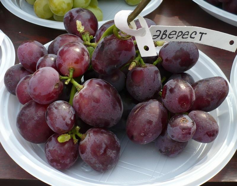 губы виноград эверест фото неприхотливы уходе