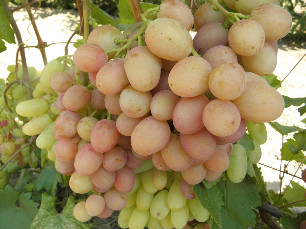 Виноград Гурман описание сорта и история селекции выращивание и уход с фото