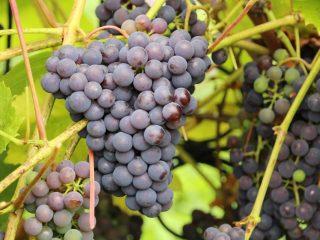 Сорта позднего винограда с фото