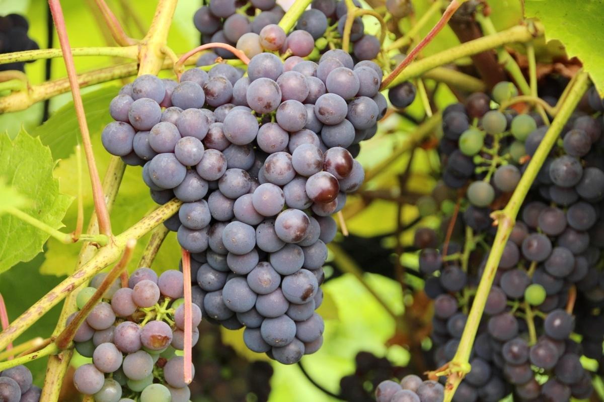 Устойчивый к морозам виноград Изабелла: описание сорта, посадка и уход, фото