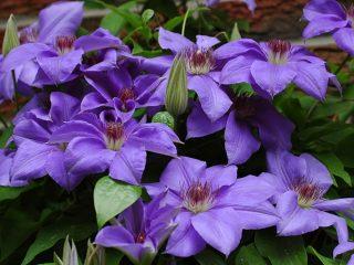 Чем подкормить клематис весной для обильного цветения