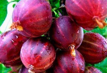 Выращивание острого перца на подоконнике: подкормки и уход
