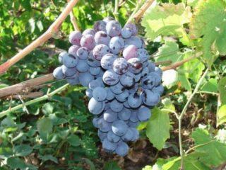 Морозостойкие сорта винограда для Подмосковья
