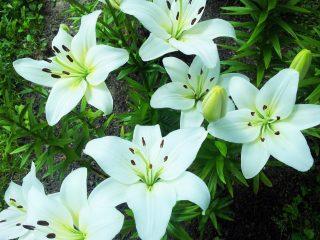 Как и когда сажать лилии