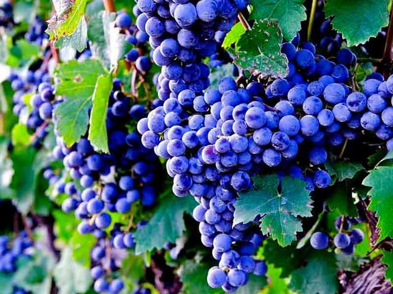 Лучшие мускатные сорта винограда