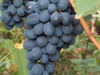 Сорта черного винограда по алфавиту