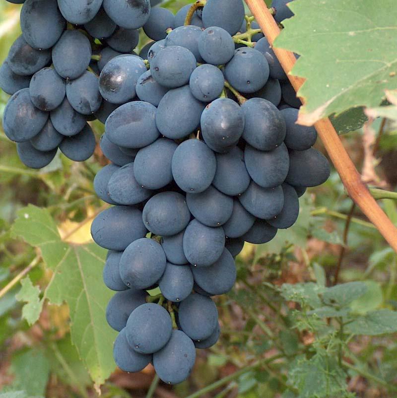 прекрасного сорта винограда с фото для ростова на дону как описал