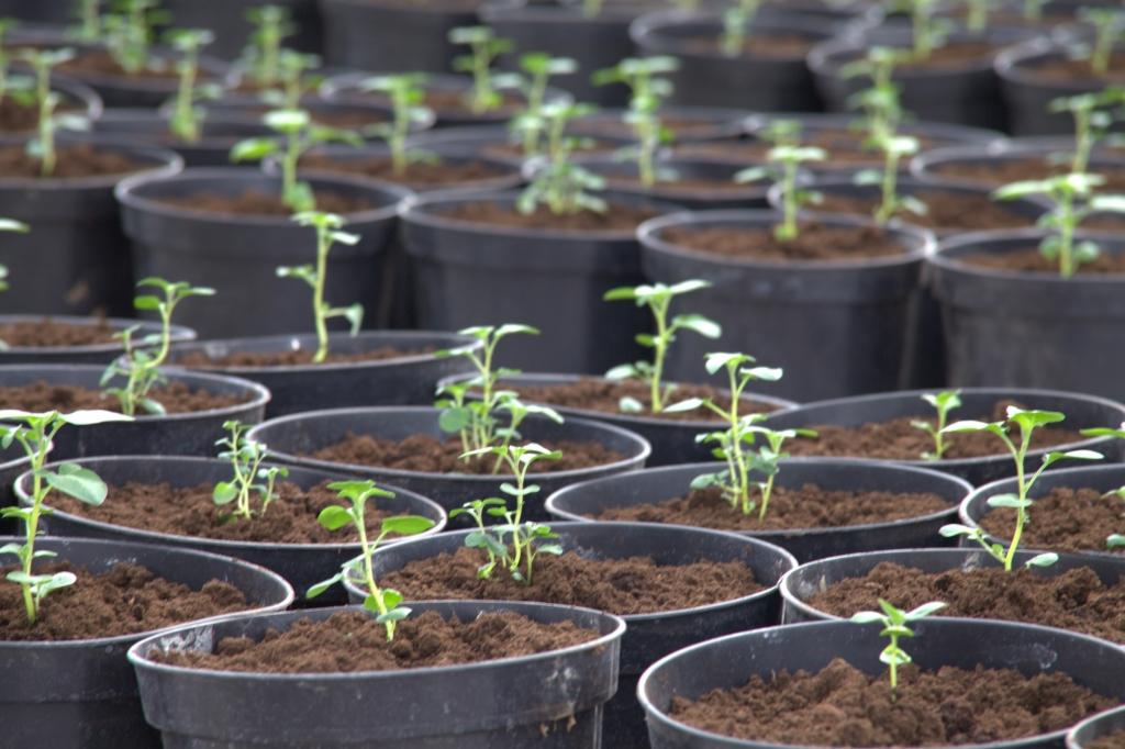 Как правильно посеять семена картофеля на рассаду