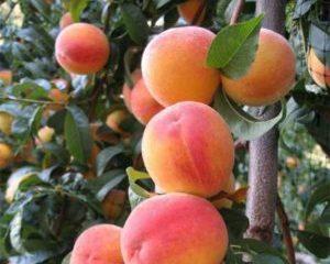 Как привить абрикос: 6 популярных способов