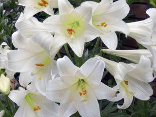 Подкормка лилий: весной, летом, осенью