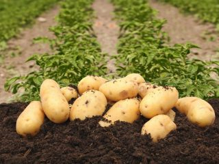 Картофель Колетте: характеристика, посадка и уход
