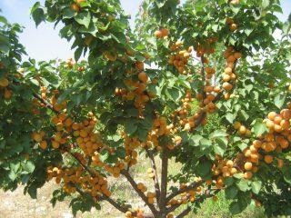 Подкормка абрикоса весной