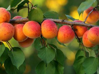 Как посадить абрикос весной: пошаговое руководство