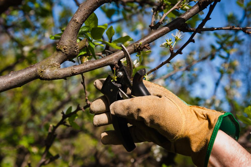 Как правильно обрезать абрикос осенью