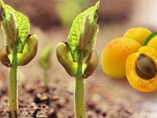 Как посадить абрикос из косточки