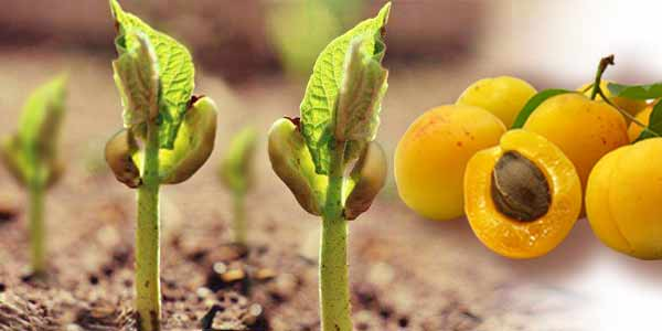 Абрикос из косточки - как правильно вырастить