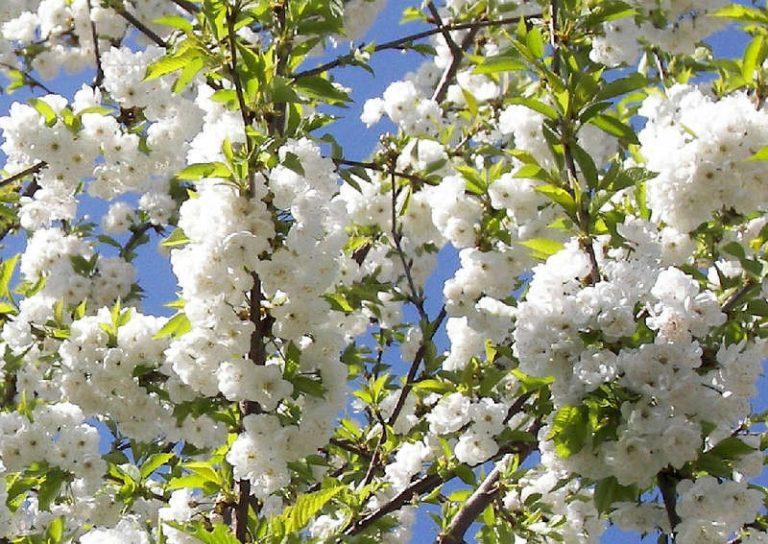 Черешня Ревна высота дерева морозостойкость