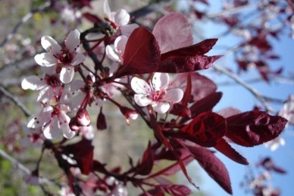 слива с красными листьями