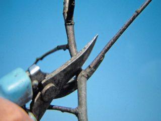 Как обрезать черешню весной и летом