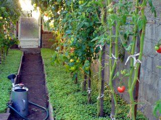 Посев сидератов в теплице осенью