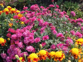 Хризантема корейская: выращивание и уход