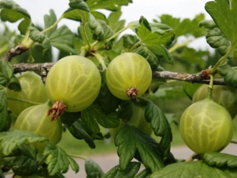 Крыжовник бесшипный: уход и особенности сортов » Дачные идеи и опыт садоводов