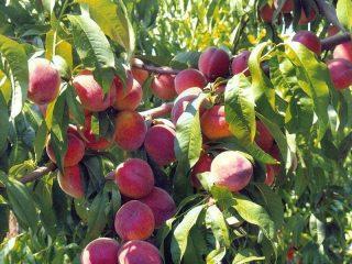 Полив плодовых деревьев осенью