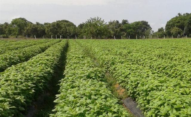 Базилик выращивание и уход в открытом грунте, болезни и вредители