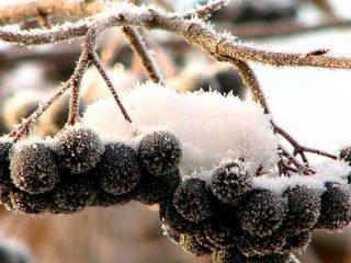Как заморозить черноплодную рябину на зиму