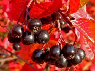 Посадка черноплодной рябины осенью