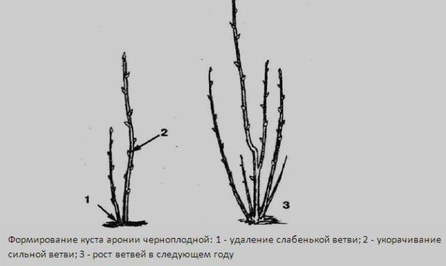 Лучшие сорта рябины черноплодной: посадка и уход