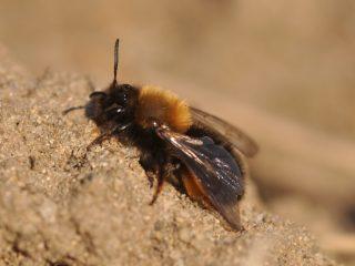 Земляные пчелы: фото, как избавиться