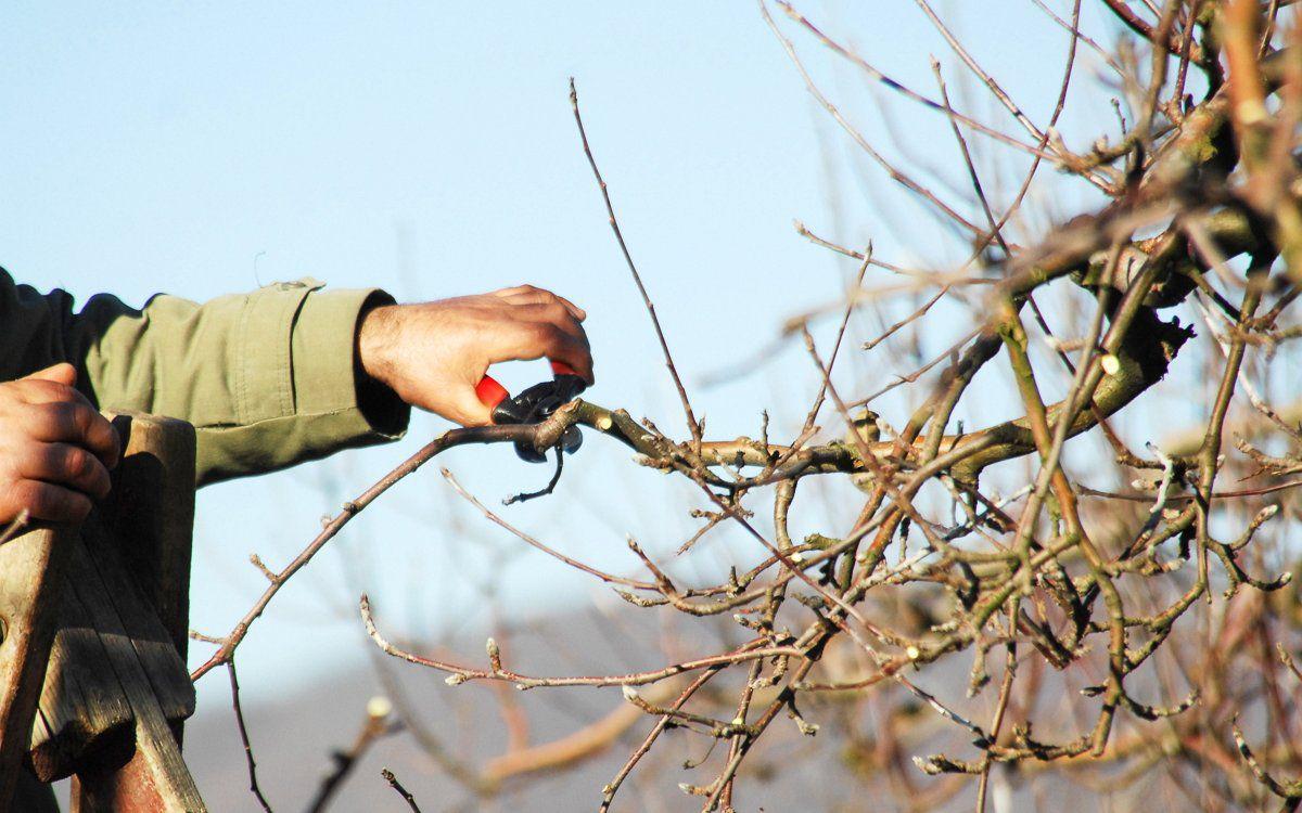 Можно ли проводить обрезку груши летом. Обрезка груши весной: схемы и правила