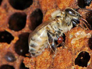 КАС 81 для пчел