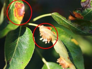 Парша на груше: фото, описание и лечение