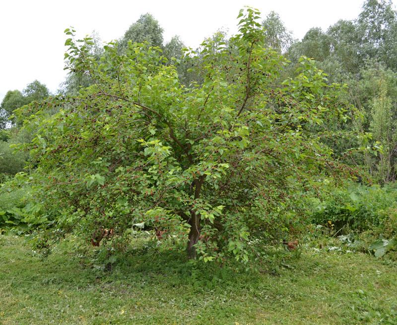 Шелковица черная: фото и описание