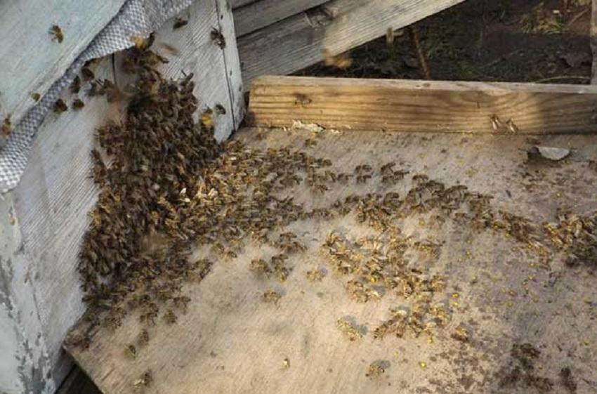 Американский гнилец пчел лечение и профилактика