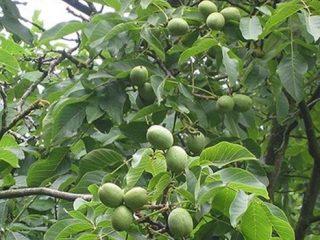 Подкормка грецкого ореха осенью