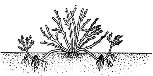 Спирея широбана посадка и уход в открытом грунте
