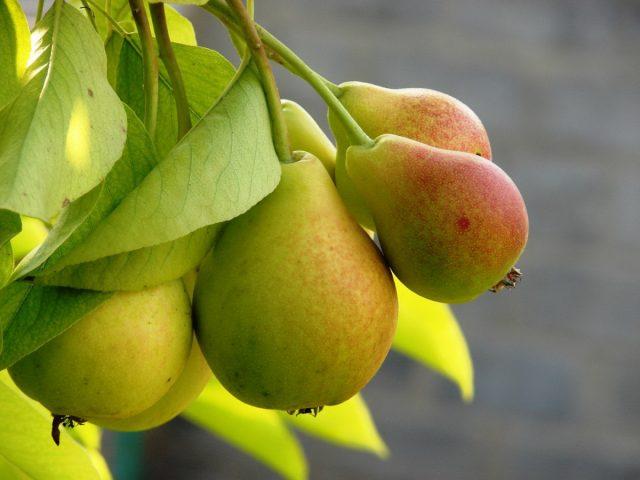 Вяленые груши польза и вред, как приготовить, калорийность